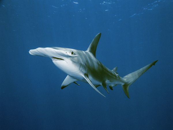 hammerhead-shark_568_600x450